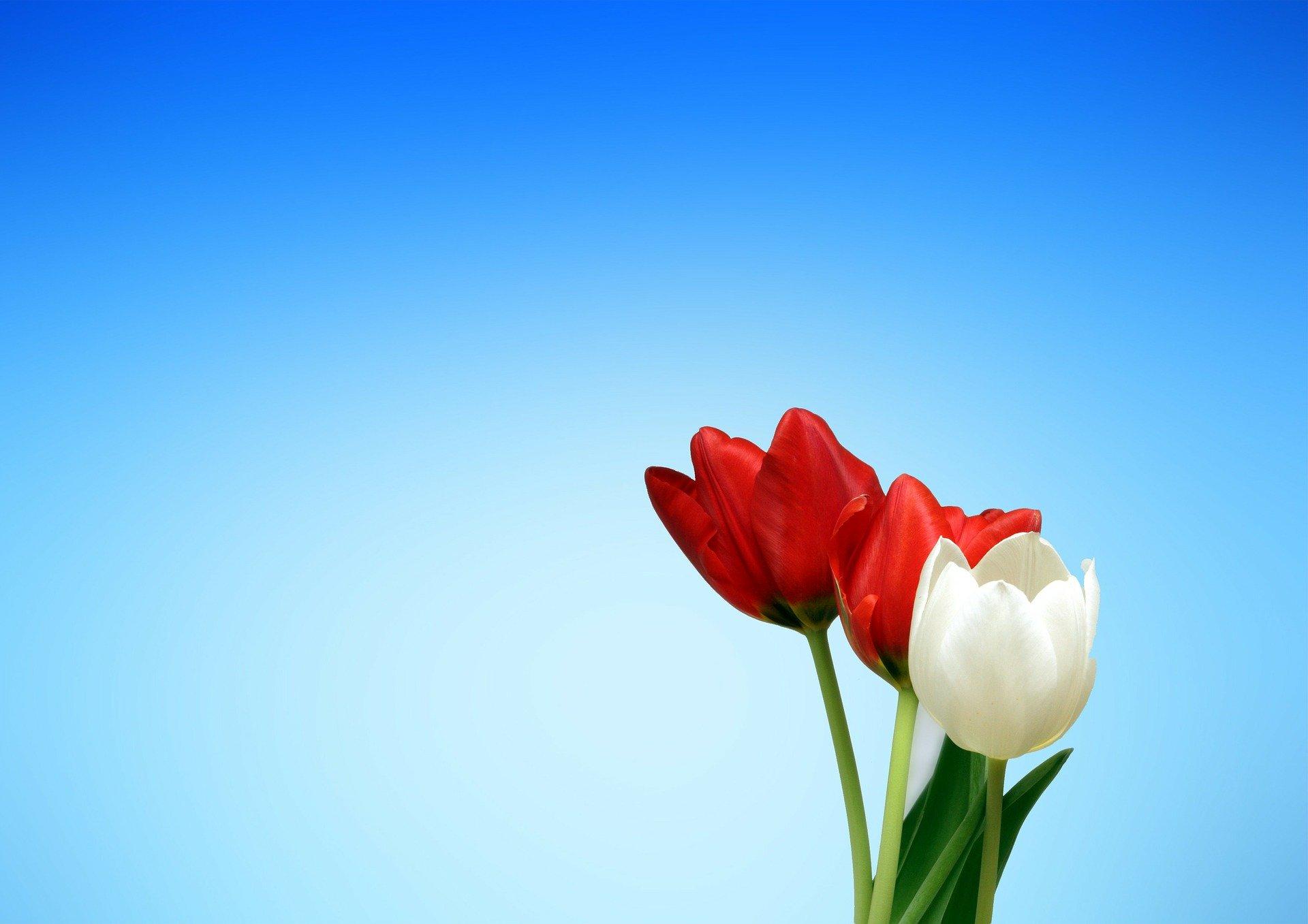 Фотография тюльпанов на фоне голубого неба